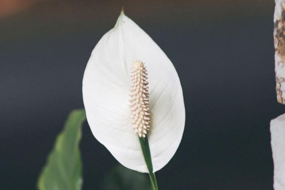 calas-flores-blancas