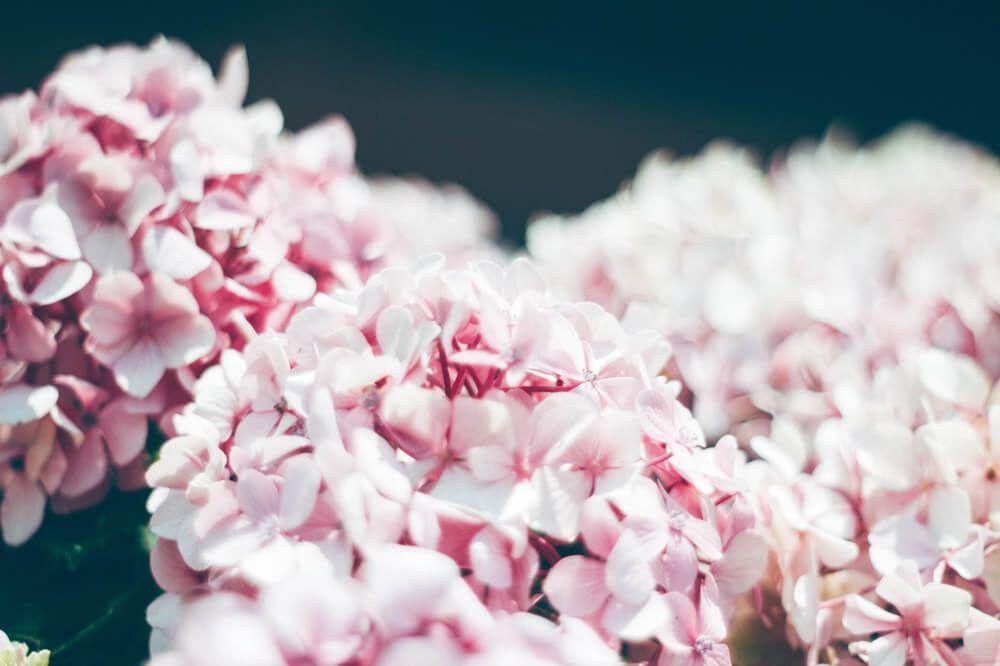 hortensias-flores-naturales-novia